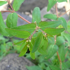 Leaves: Euphorbia nutans. ~ By Merel Black. ~ Copyright © 2020 Merel R. Black. ~ Merel R. Black, University of Wisconsin-Stevens Point ~ Robert W. Freckmann Herbarium, U. of Wisconsin-Stevens Point