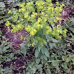 Flowers: Euphorbia platyphyllos. ~ By Ernst Horak. ~ Copyright © 2021 Ernst Horak. ~ BOTANIK IM BILD http:/flora.nhm-wien.ac.at ~ Wien Natural History Museum, Vienna, Austria