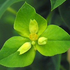 Flowers: Euphorbia platyphyllos. ~ By Robert Flogaus-Faust. ~ Copyright © 2021 Robert Flogaus-Faust. ~ http://www.flogaus-faust.de/bc/mail.htm ~ Fotografien von Wildpflanzen - www.flogaus-faust.de