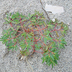 Plant form: Euphorbia polygonifolia. ~ By Arthur Haines. ~ Copyright © 2021. ~ arthurhaines[at]wildblue.net