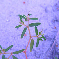 Leaves: Euphorbia polygonifolia. ~ By Arthur Haines. ~ Copyright © 2021. ~ arthurhaines[at]wildblue.net