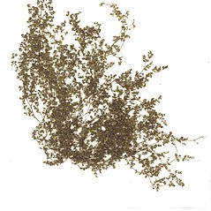Plant form: Euphorbia serpens. ~ By CONN Herbarium. ~ Copyright © 2021 CONN Herbarium. ~ Requests for image use not currently accepted by copyright holder ~ U. of Connecticut Herbarium - bgbaseserver.eeb.uconn.edu/