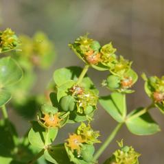 Flowers: Euphorbia virgata. ~ By Henry Brisse. ~ Copyright © 2021 Henry Brisse. ~ henry.brisse[at]univ-cezanne.fr ~ Universite Paul Cezanne