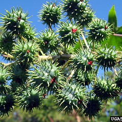 Fruits: Ricinus communis. ~ By Dan Clark. ~ Copyright © 2021 CC BY-NC 3.0. ~  ~ Bugwood - www.bugwood.org/