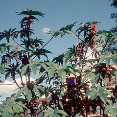 Plant form: Ricinus communis. ~ By Carol Levine. ~ Copyright © 2021 Carol Levine. ~ carolflora[at]optonline.net