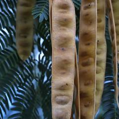Fruits: Albizia julibrissin. ~ By Steven Baskauf. ~ Copyright © 2020 CC-BY-NC-SA. ~  ~ Bioimages - www.cas.vanderbilt.edu/bioimages/frame.htm