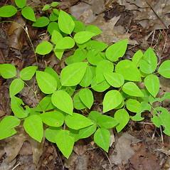 Plant form: Amphicarpaea bracteata. ~ By Arthur Haines. ~ Copyright © 2021. ~ arthurhaines[at]wildblue.net