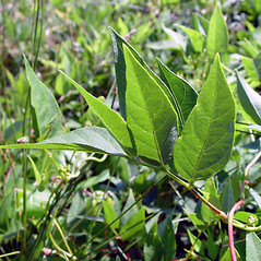 Leaves: Apios americana. ~ By Arthur Haines. ~ Copyright © 2020. ~ arthurhaines[at]wildblue.net