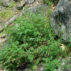 Plant form: Astragalus robbinsii. ~ By Arthur Haines. ~ Copyright © 2020. ~ arthurhaines[at]wildblue.net
