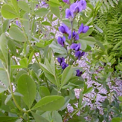 Plant form: Baptisia australis. ~ By Janet Novak. ~ Copyright © 2021 Janet Novak. ~ Requests for image use not currently accepted by copyright holder ~ Connecticut Botanical Society - www.ct-botanical-society.org/