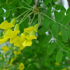 Flowers: Caragana arborescens. ~ By Arthur Haines. ~ Copyright © 2020. ~ arthurhaines[at]wildblue.net