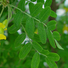 Leaves: Caragana arborescens. ~ By Arthur Haines. ~ Copyright © 2020. ~ arthurhaines[at]wildblue.net