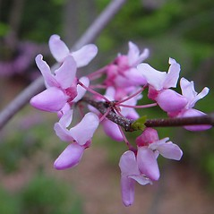 Flowers: Cercis canadensis. ~ By Arthur Haines. ~ Copyright © 2021. ~ arthurhaines[at]wildblue.net