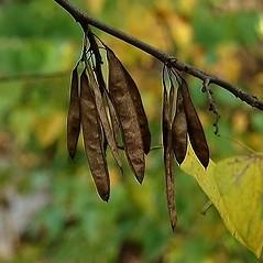 Fruits: Cercis canadensis. ~ By Paul S. Drobot. ~ Copyright © 2020 Paul S. Drobot. ~ www.plantstogrow.com, www.plantstockphotos.com ~ Robert W. Freckmann Herbarium, U. of Wisconsin-Stevens Point