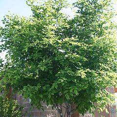 Plant form: Cladrastis kentukea. ~ By Vanessa Richins. ~ Copyright © 2021 CC BY-NC 3.0. ~  ~ Bugwood - www.bugwood.org/