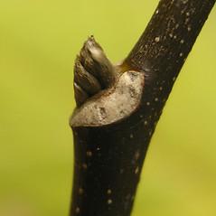 Winter buds: Cladrastis kentukea. ~ By Bruce Patterson. ~ Copyright © 2019 Bruce Patterson. ~ foxpatterson[at]comcast.net