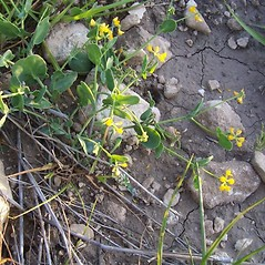 Plant form: Coronilla scorpioides. ~ By Luigi Rignanese. ~ Copyright © 2019 Luigi Rignanese. ~ Requests for image use not currently accepted by copyright holder ~ CalPhotos - calphotos.berkeley.edu/flora/