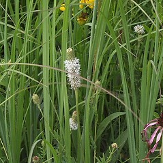 Flowers: Dalea candida. ~ By Paul S. Drobot. ~ Copyright © 2021 Paul S. Drobot. ~ www.plantstogrow.com, www.plantstockphotos.com ~ Robert W. Freckmann Herbarium, U. of Wisconsin-Stevens Point