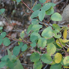 Leaves: Desmodium marilandicum. ~ By Deborah Lievens. ~ Copyright © 2021 Deborah Lievens. ~ dlievens[at]ix.netcom.com