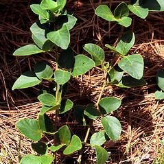 Plant form: Desmodium obtusum. ~ By James Miller. ~ Copyright © 2021 CC BY-NC 3.0. ~  ~ Bugwood - www.bugwood.org/
