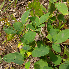 Leaves: Desmodium obtusum. ~ By John Hilty. ~ Copyright © 2020 John Hilty. ~ john[at]illinoiswildflowers.info ~ Illinois Wildflowers - www.illinoiswildflowers.info/index.htm