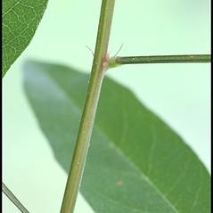 Stems: Desmodium paniculatum. ~ By Arieh Tal. ~ Copyright © 2020 Arieh Tal. ~ www.nttlphoto.com ~ Arieh Tal - www.nttlphoto.com