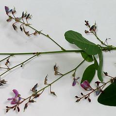 Flowers: Desmodium perplexum. ~ By Alexey Zinovjev. ~ Copyright © 2021. ~ webmaster[at]salicicola.com ~ Salicicola - www.salicicola.com/