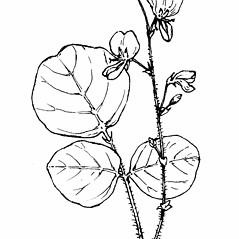 Flowers: Desmodium rotundifolium. ~ By Gordon Morrison. ~ Copyright © 2020 New England Wild Flower Society. ~ Image Request, images[at]newenglandwild.org