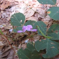 Plant form: Desmodium rotundifolium. ~ By Deborah Lievens. ~ Copyright © 2021 Deborah Lievens. ~ dlievens[at]ix.netcom.com