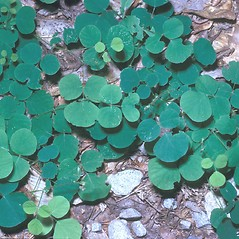 Leaves: Desmodium rotundifolium. ~ By Frank Bramley. ~ Copyright © 2020 New England Wild Flower Society. ~ Image Request, images[at]newenglandwild.org