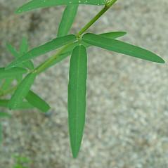 Leaves: Desmodium sessilifolium. ~ By Arthur Haines. ~ Copyright © 2020. ~ arthurhaines[at]wildblue.net