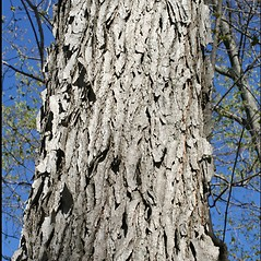 Bark: Gymnocladus dioicus. ~ By Steven Baskauf. ~ Copyright © 2021 CC-BY-NC-SA. ~  ~ Bioimages - www.cas.vanderbilt.edu/bioimages/frame.htm