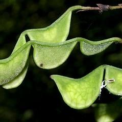 Fruits: Hylodesmum glutinosum. ~ By Keir Morse. ~ Copyright © 2021 Keir Morse. ~ www.keiriosity.com ~ www.keiriosity.com