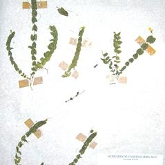 Plant form: Lathyrus aphaca. ~  ~ Copyright © 2021. ~
