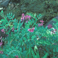 Plant form: Lathyrus japonicus. ~ By Jean Baxter. ~ Copyright © 2021 New England Wild Flower Society. ~ Image Request, images[at]newenglandwild.org