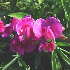 Flowers: Lathyrus latifolius. ~ By Arthur Haines. ~ Copyright © 2021. ~ arthurhaines[at]wildblue.net