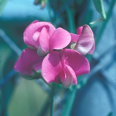 Flowers: Lathyrus latifolius. ~ By Ray Angelo. ~ Copyright © 2021 New England Wild Flower Society. ~ Image Request, images[at]newenglandwild.org