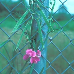 Fruits: Lathyrus latifolius. ~ By Ray Angelo. ~ Copyright © 2021 New England Wild Flower Society. ~ Image Request, images[at]newenglandwild.org