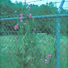 Plant form: Lathyrus latifolius. ~ By Ray Angelo. ~ Copyright © 2020 New England Wild Flower Society. ~ Image Request, images[at]newenglandwild.org