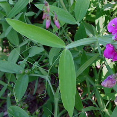 Leaves: Lathyrus latifolius. ~ By Arthur Haines. ~ Copyright © 2021. ~ arthurhaines[at]wildblue.net