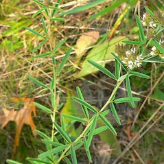 Plant form: Lespedeza angustifolia. ~ By Jason Sachs. ~ Copyright © 2021 Jason Sachs. ~ No permission needed for non-commercial uses, with proper credit