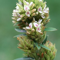 Flowers: Lespedeza capitata. ~ By Arieh Tal. ~ Copyright © 2021 Arieh Tal. ~ http://botphoto.com/ ~ Arieh Tal - botphoto.com