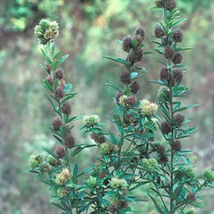 Plant form: Lespedeza capitata. ~ By Jean Baxter. ~ Copyright © 2020 New England Wild Flower Society. ~ Image Request, images[at]newenglandwild.org