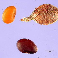 Fruits: Lespedeza frutescens. ~ By Tracey Slotta. ~  Public Domain. ~   ~ USDA-NRCS Plants Database - plants.usda.gov/java/