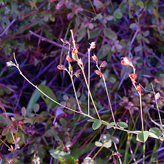 Plant form: Lespedeza procumbens. ~ By Arthur Haines. ~ Copyright © 2021. ~ arthurhaines[at]wildblue.net