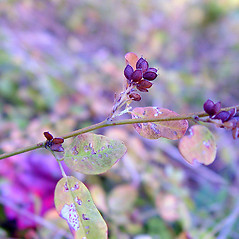 Fruits: Lespedeza repens. ~ By Arthur Haines. ~ Copyright © 2021. ~ arthurhaines[at]wildblue.net