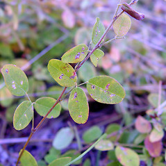 Leaves: Lespedeza repens. ~ By Arthur Haines. ~ Copyright © 2021. ~ arthurhaines[at]wildblue.net