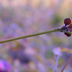 Stems: Lespedeza repens. ~ By Arthur Haines. ~ Copyright © 2021. ~ arthurhaines[at]wildblue.net