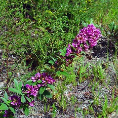 Plant form: Lespedeza stuevei. ~ By Arthur Haines. ~ Copyright © 2020. ~ arthurhaines[at]wildblue.net