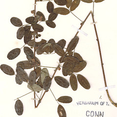 Leaves: Lespedeza stuevei. ~ By CONN Herbarium. ~ Copyright © 2020 CONN Herbarium. ~ Requests for image use not currently accepted by copyright holder ~ U. of Connecticut Herbarium - bgbaseserver.eeb.uconn.edu/
